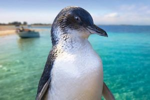 Full-Day Penguin Island  Fremantle Town - Tourism Canberra